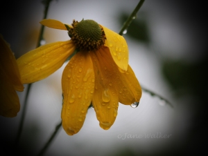 img_0066-false-sunflower-after-rain-signed-1024