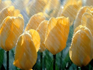 spring-rain-desktop-wallpaper-10-300x225